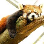 福岡市動物園 レッサーパンダ「マリモ」の誕生日会