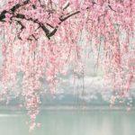博多駅に一足早く桜が咲き乱れる!